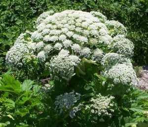 giant hogweed molecular matters